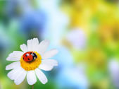 Ladybug on daisy flower — Stock Photo