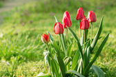 Red tulips grow on the ground — Stock Photo