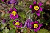 Pasqueflowers — Fotografia Stock