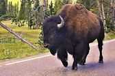 Wild bison in Yellowstone national park — Stockfoto