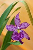 Beautiful violet orchid  — Stock Photo