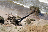 Uprooted tree from a storm — Stock Photo
