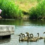 Little girl feeding swans — Stock Photo #27277217