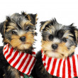 Stock Photo: Two Yorkshire terrier puppies