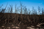 Forest wild after fire — Stock Photo