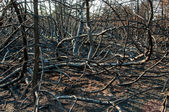 Forest wild after fire — 图库照片