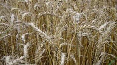 Ripe wheat — Stock Video