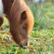 Icelandic horse — Stock Photo #32951467