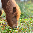 Icelandic horse — Stock Photo