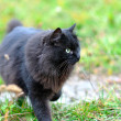 Stock Photo: Black cat on grass