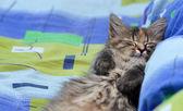 Cute little kitten sleeping — Stock Photo