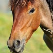 Stock Photo: Portrait of Horse