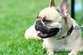 Boston Terrier — Stock Photo