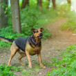 Stock Photo: Dog outdoors