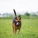 Running dog — Stock Photo #33003235