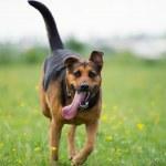 Running dog — Stock Photo #33003245