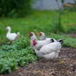 Stock Photo: Chicken in grass on farm
