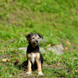 Stock Photo: Puppy outdoors