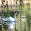 Beautiful young swans in lake — Stock Photo #33006195