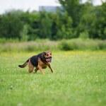 Running dog — Stock Photo #33006349