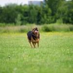 Running dog — Stock Photo #33006351