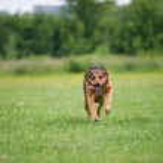 Running dog — Stock Photo #33006359