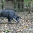 Wild boar in autumn forest — Stok fotoğraf