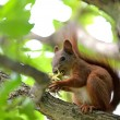 Red squirrel — Foto de Stock