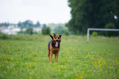 Walking dog — Stock Photo
