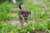 Puppy 2 months — Stock Photo