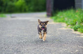 Puppy 2 months running — Stock Photo
