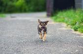 Puppy 2 months running — Stock Photo