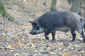 Wild boar in autumn forest — Foto Stock