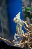 Kameleon — Zdjęcie stockowe