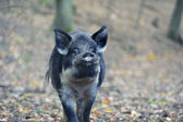 Wild boar in autumn forest — Photo