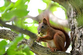 Red squirrel — 图库照片