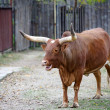 Watusi cattle — Stock Photo #43781309