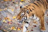 Amoer tijgers — Stockfoto