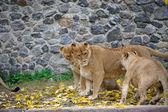 Playful lion — Stock Photo