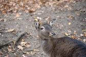 Western roe deer — Foto Stock