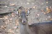 Western roe deer — Stock Photo