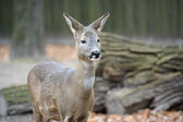 A little western roe deer — 图库照片