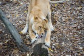 Funny Lion — Stock Photo