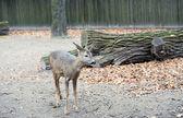 A little western roe deer — Stockfoto