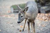 A little western roe deer — Foto Stock