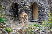 Amur Tigers — Foto Stock