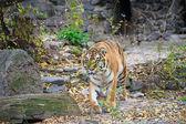 Tigres amur — Foto de Stock
