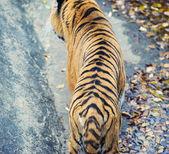 Tigres de amur — Foto Stock