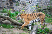 Amur Tigers — Stockfoto