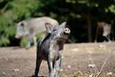 Wild boar in forest — 图库照片